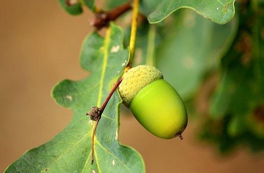 acorn-3610332__340