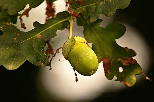acorn-3646056__340