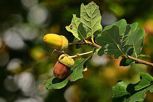 acorn-3694485__340