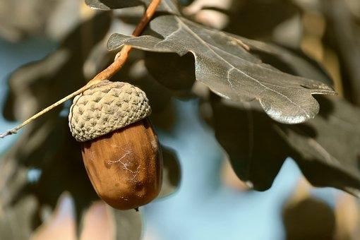 acorn-3865606__340