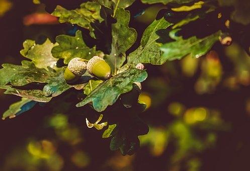 acorns-3535510__340