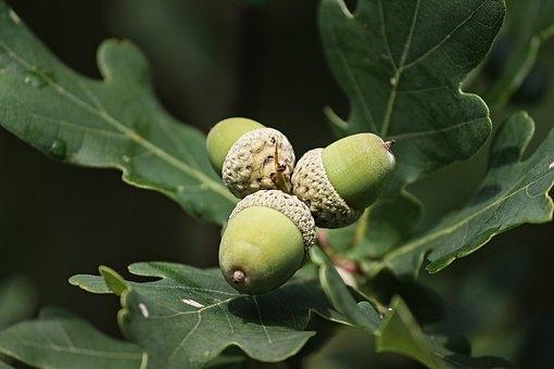acorns-3568860__340