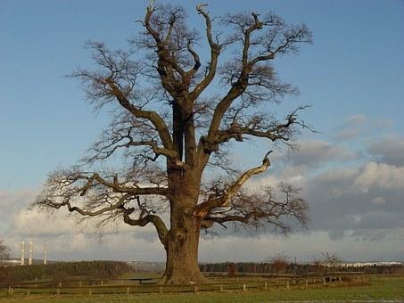 oak-227381__340