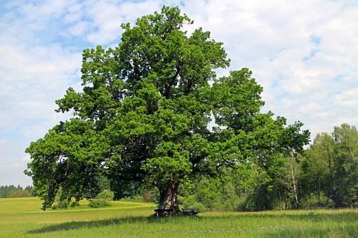 oak-354641__340