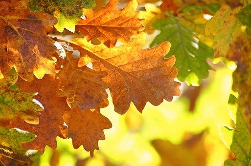 oak-leaves-1777410__340
